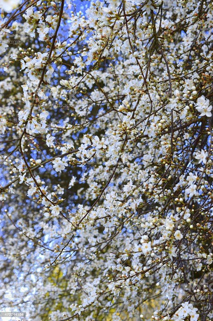 Flowering Cherry royalty-free stock photo