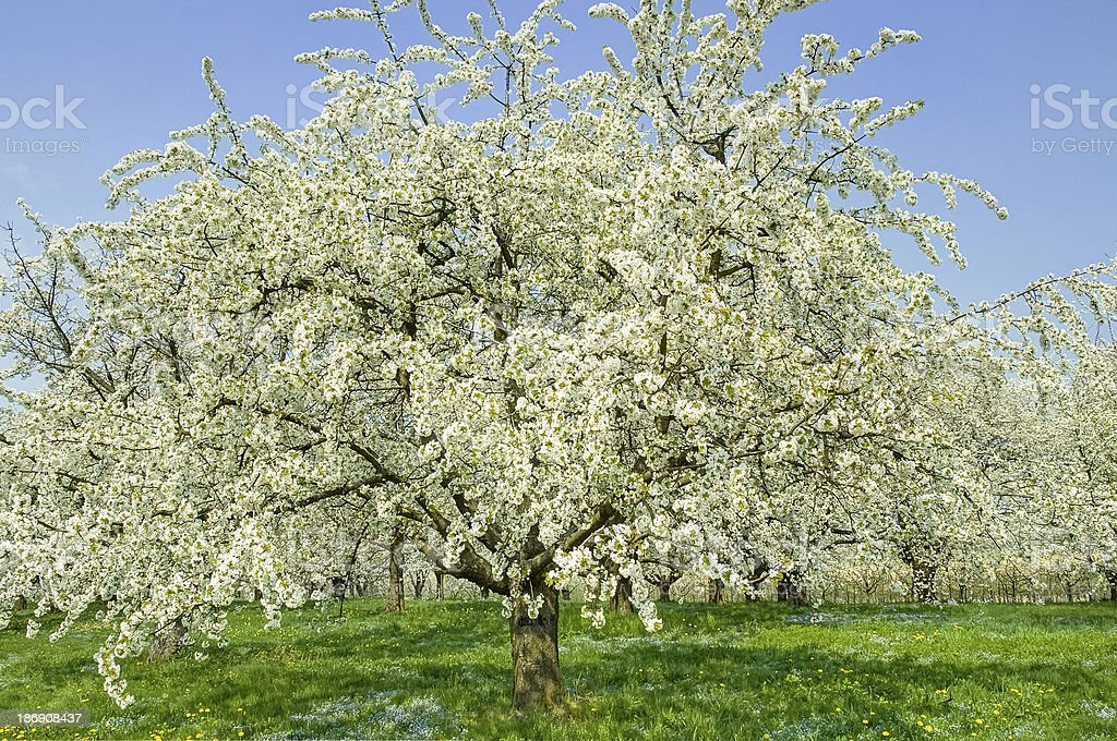 flowering cherry tree on meadow stock photo