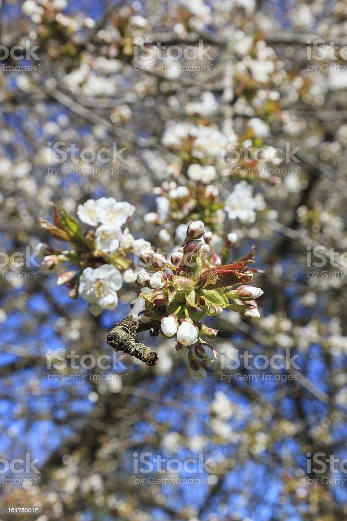 Flowering  cherry tree royalty-free stock photo