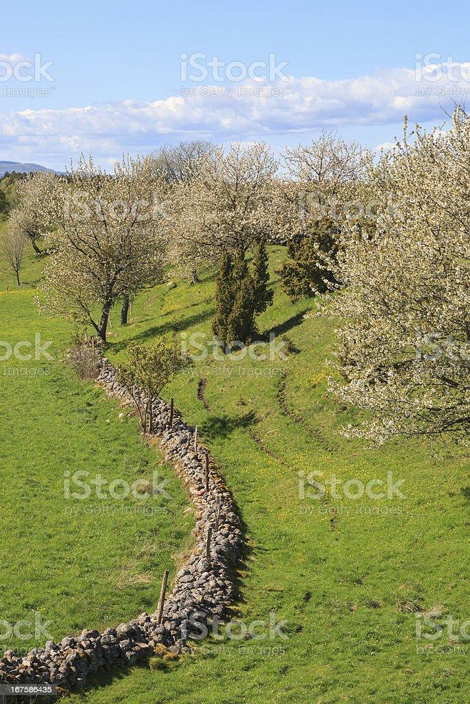Flowering cherry trees royalty-free stock photo