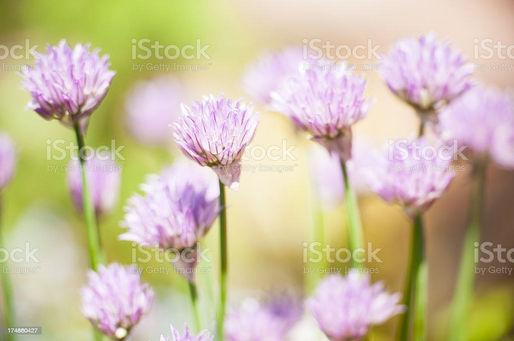 Flowering Chive Series royalty-free stock photo