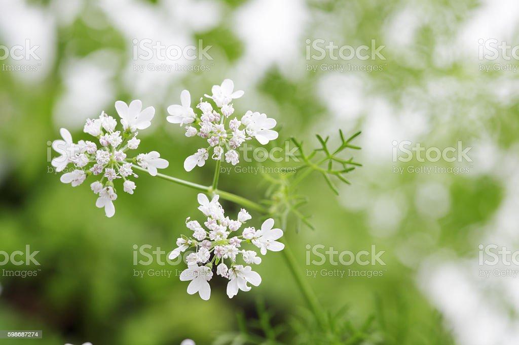 Flowering Cilantro, Coriander, Coriandrum sativum stock photo