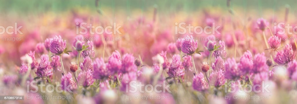 Flowering clover, beautiful red clover in meadow stock photo