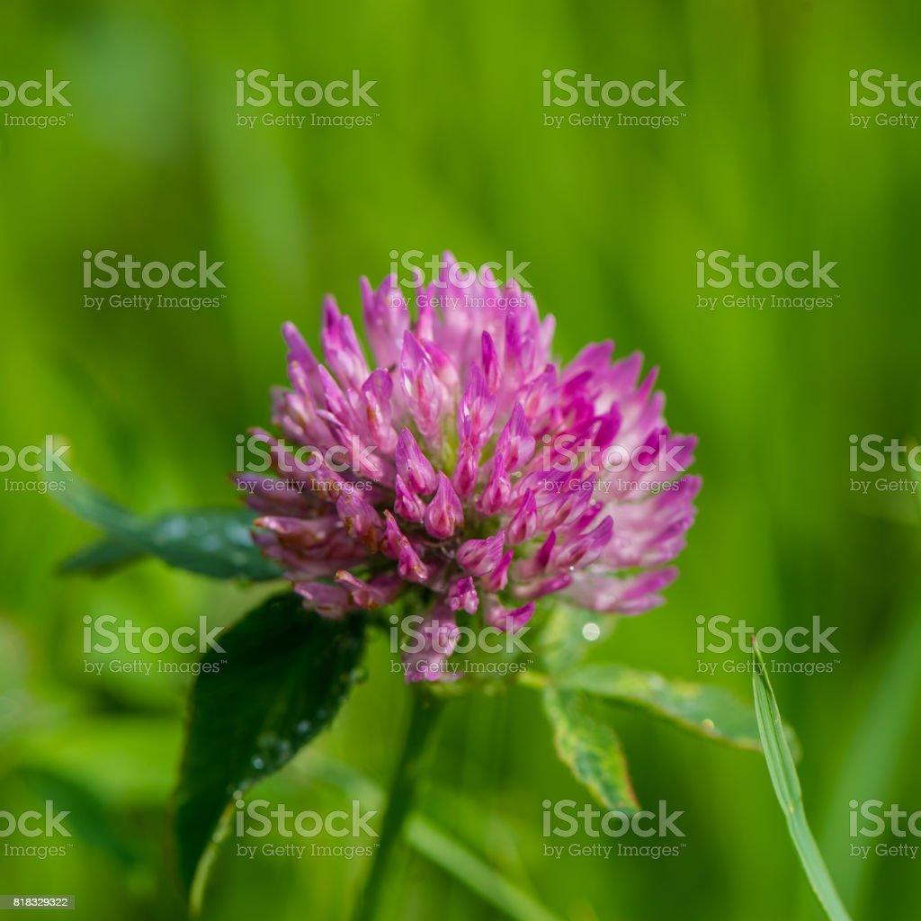Flowering clover stock photo