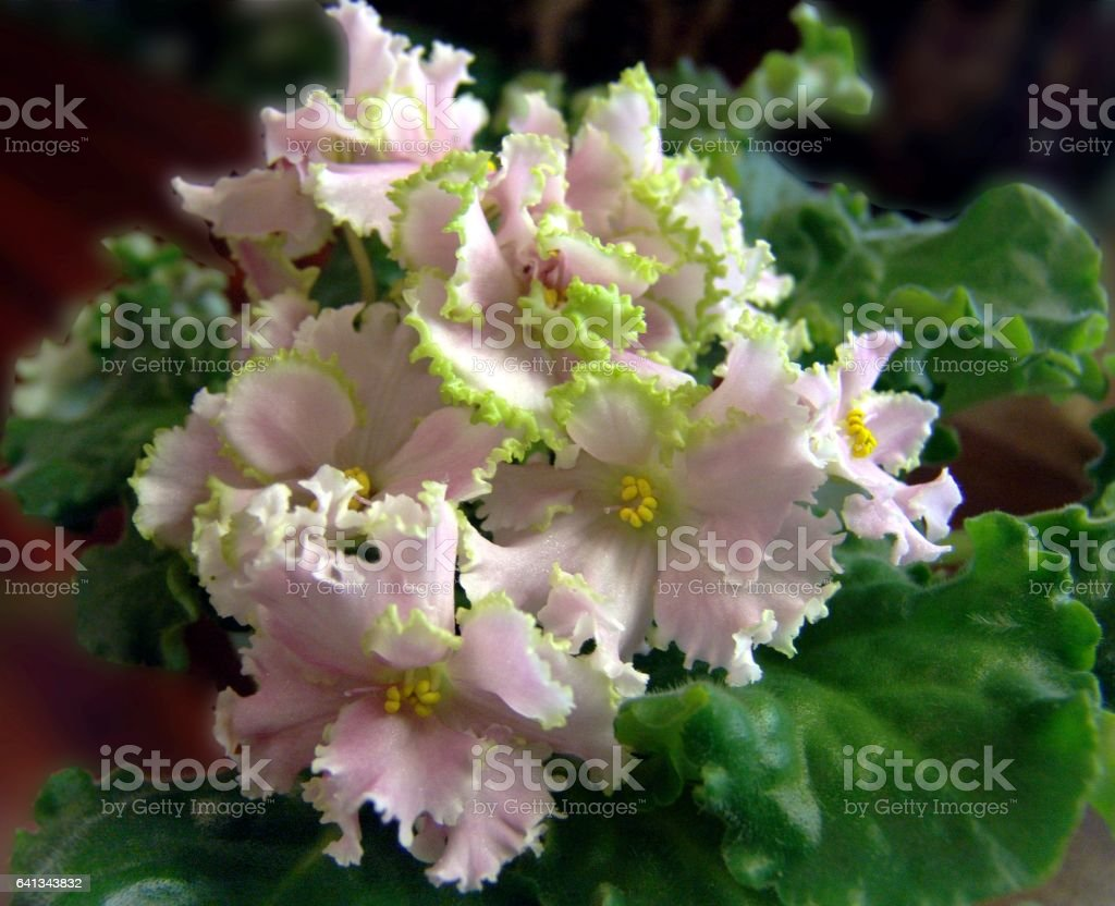 Flowering collectible African violets 'Silver Romance' stock photo