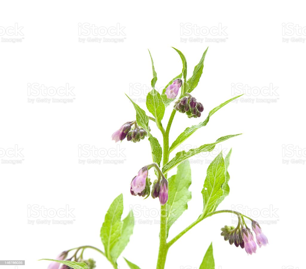 flowering comfrey royalty-free stock photo