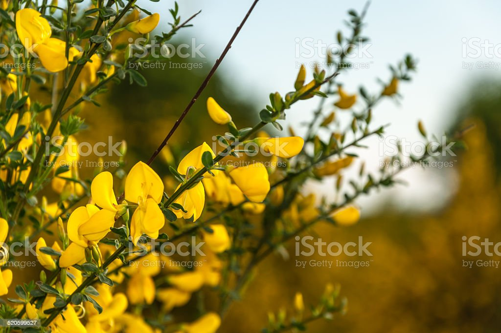 Flowering Common broom in springtime stock photo
