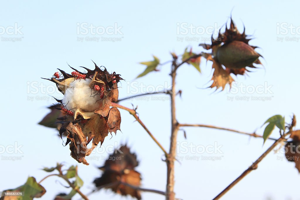 Flowering Cotton royalty-free stock photo