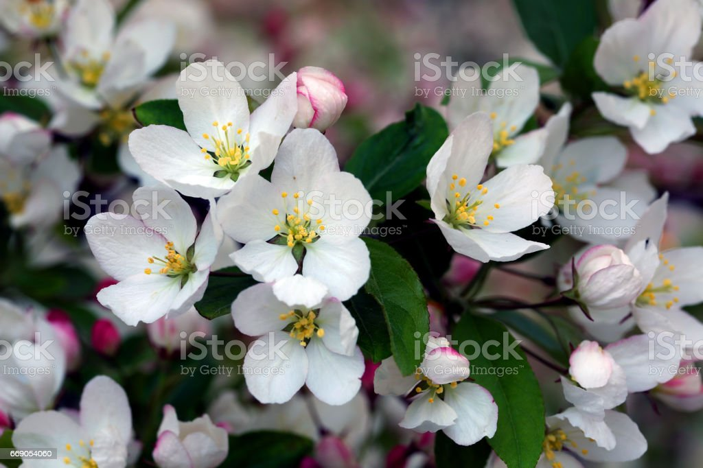 Flowering crab apple blossoms stock photo