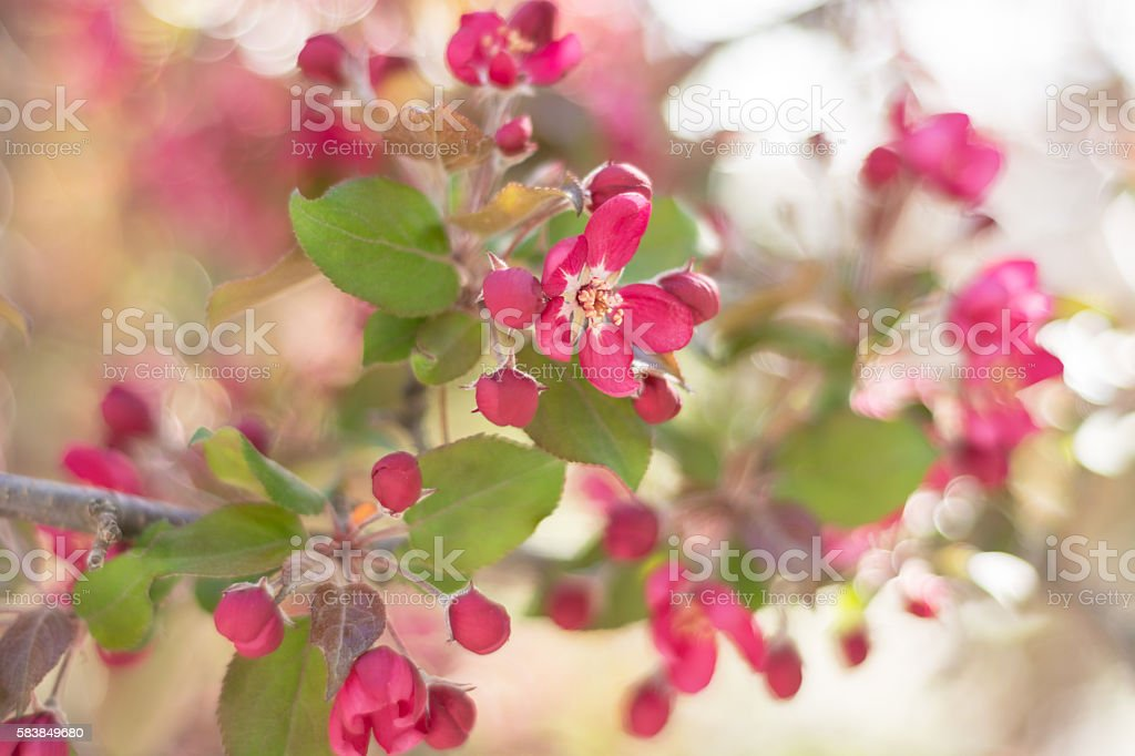 Flowering crab apple branch with selective focus. stock photo