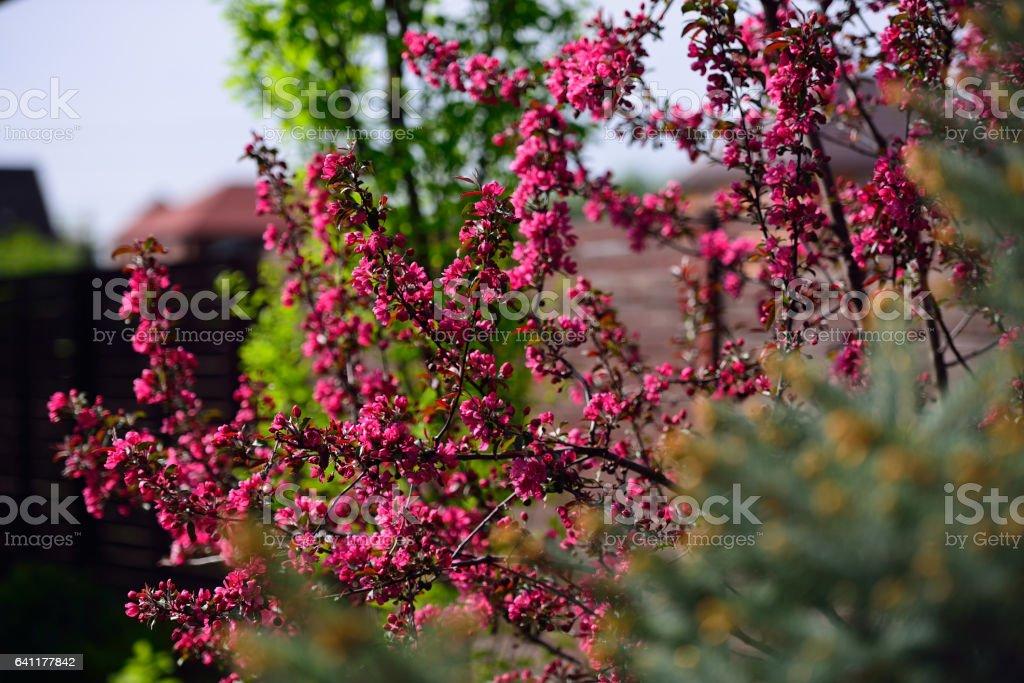 Flowering crabapple wild apple malus blooms. stock photo