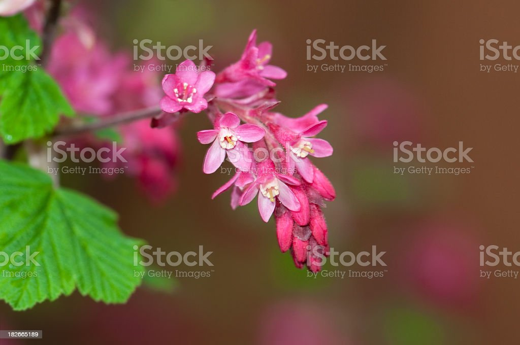Flowering Currant Blossoms royalty-free stock photo