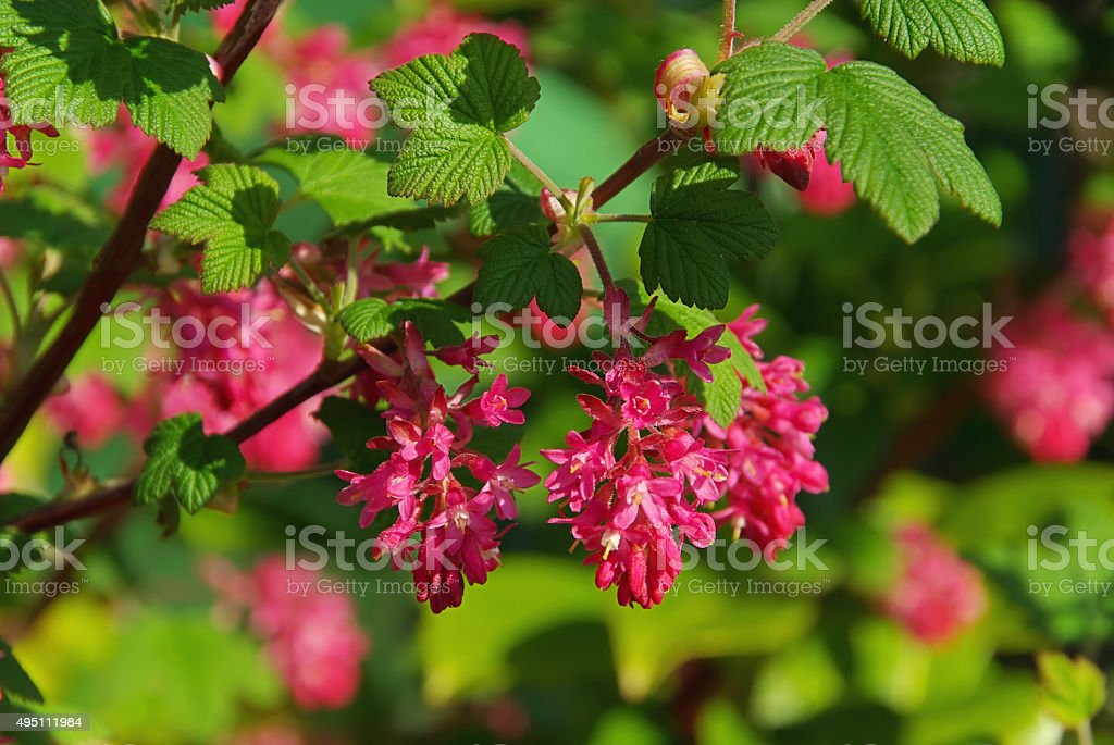 Flowering Currant stock photo