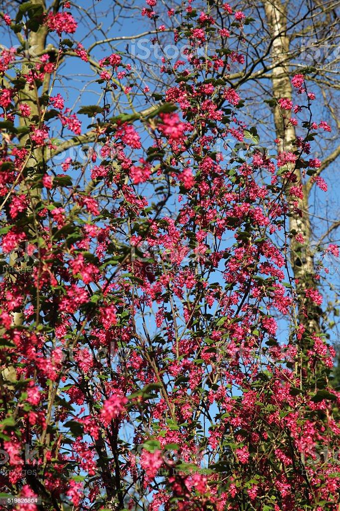 Flowering currant stock photo