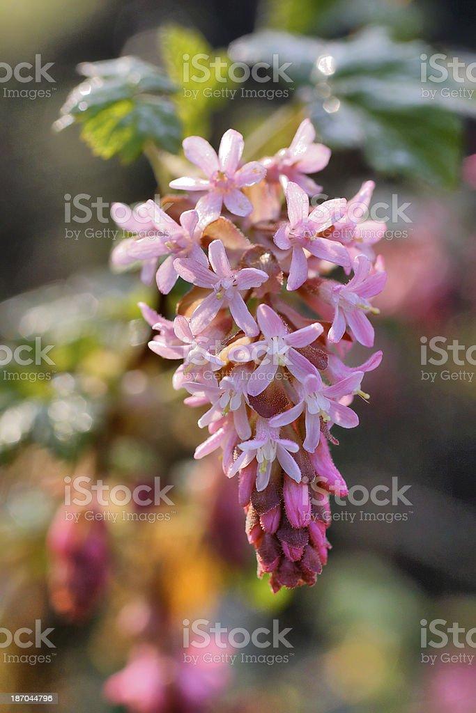 Flowering currant Ribes sanguineum stock photo