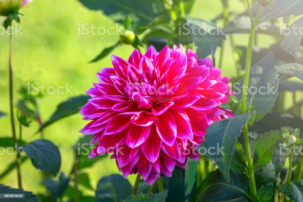 Flowering dahlia flower stock photo