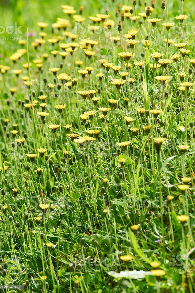Flowering Dandelions stock photo