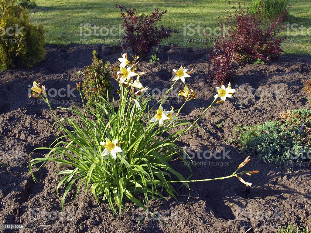Flowering daylily royalty-free stock photo