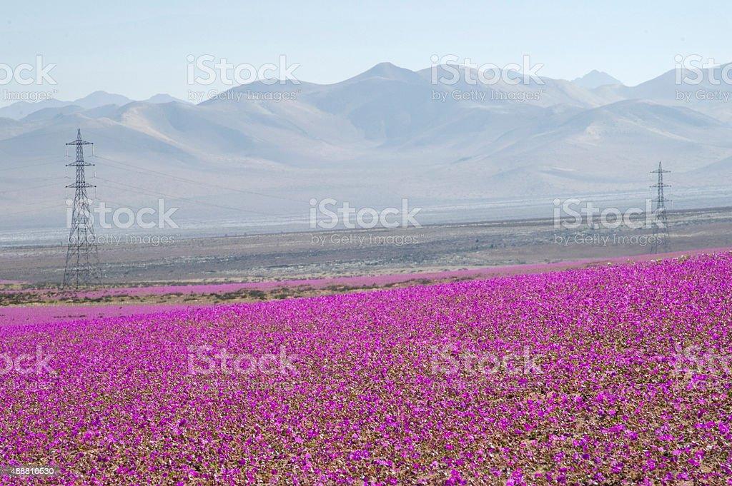 Flowering decierto de Atacama, Chile. stock photo