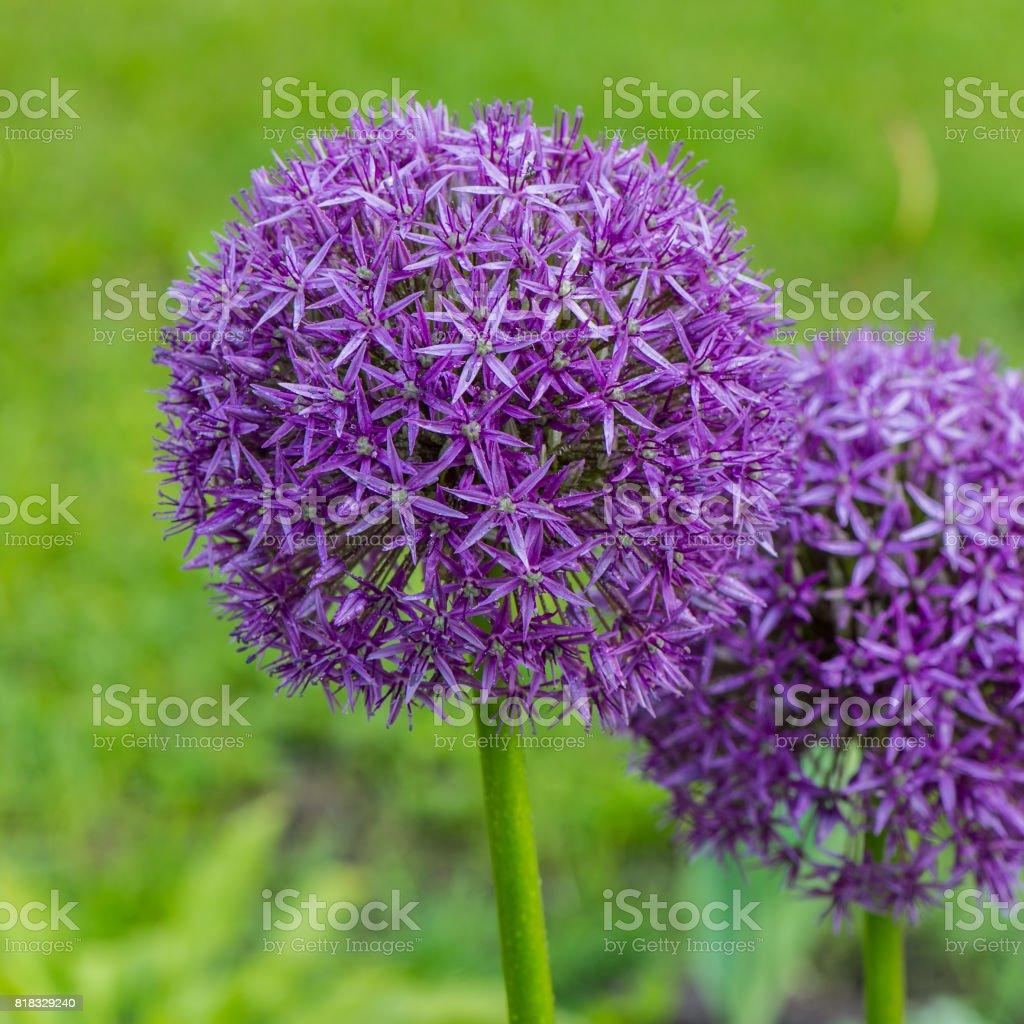 Flowering decorative garlic stock photo