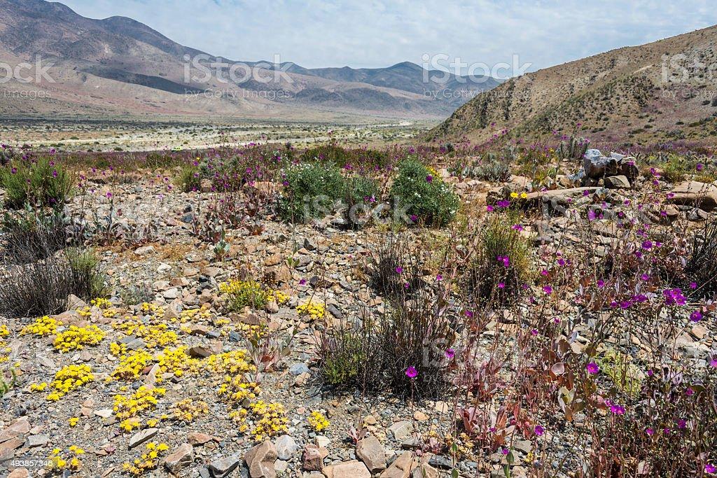 Flowering desert in the Chilean Atacama Desert stock photo