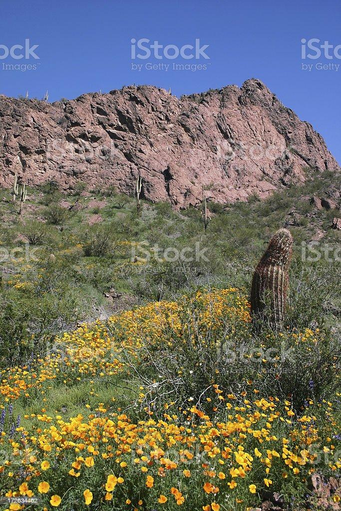 Flowering Desert royalty-free stock photo