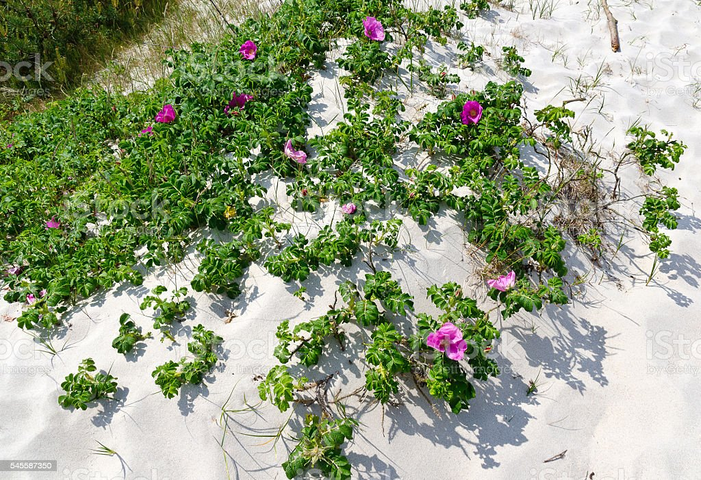 flowering dog-rose on a sand dune stock photo