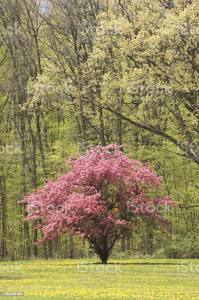 Flowering Dogwood and Dandelions royalty-free stock photo