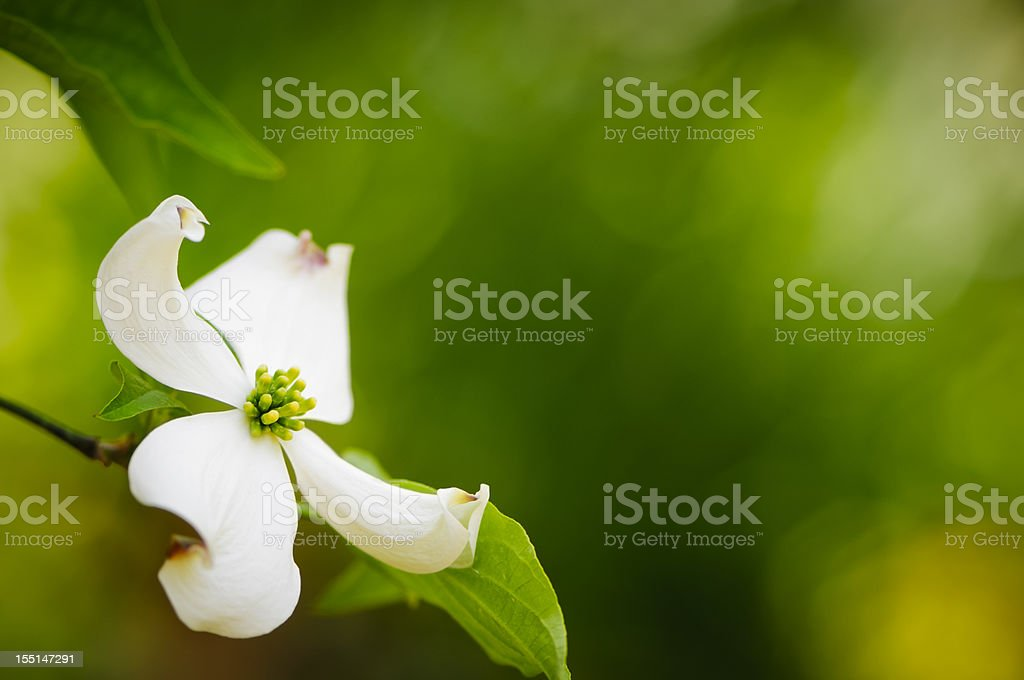 Flowering dogwood blossom royalty-free stock photo