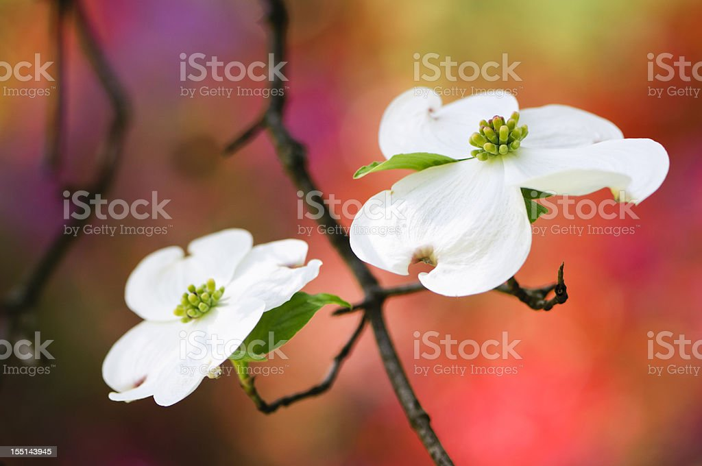 Flowering dogwood blossoms royalty-free stock photo