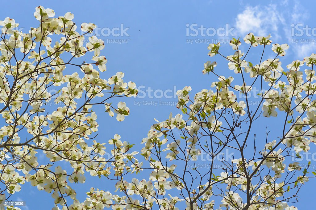 Flowering Dogwood in Massachusetts State Forest stock photo