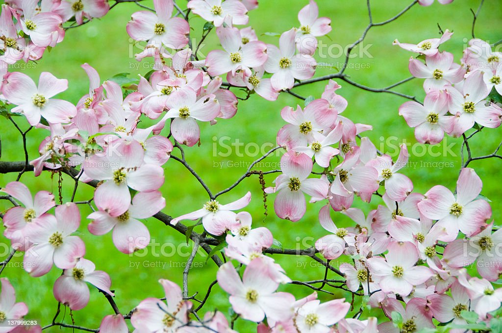 Flowering dogwood in spring. royalty-free stock photo