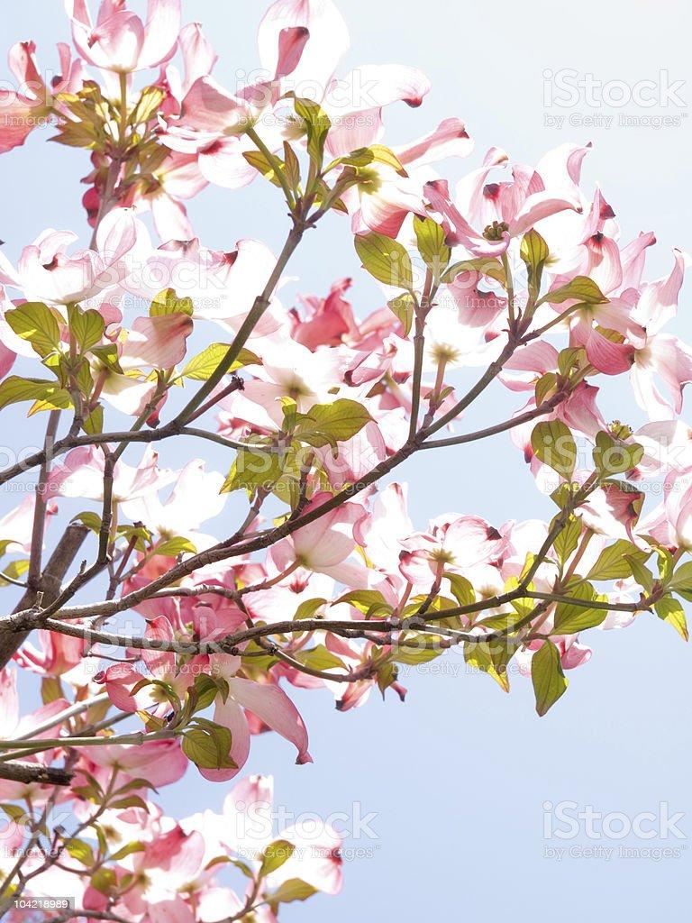 flowering dogwood stock photo