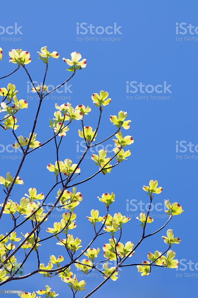 Flowering Dogwood royalty-free stock photo