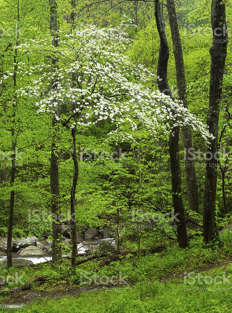 Flowering Dogwood Tree royalty-free stock photo