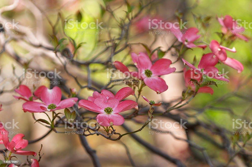flowering dogwoods royalty-free stock photo
