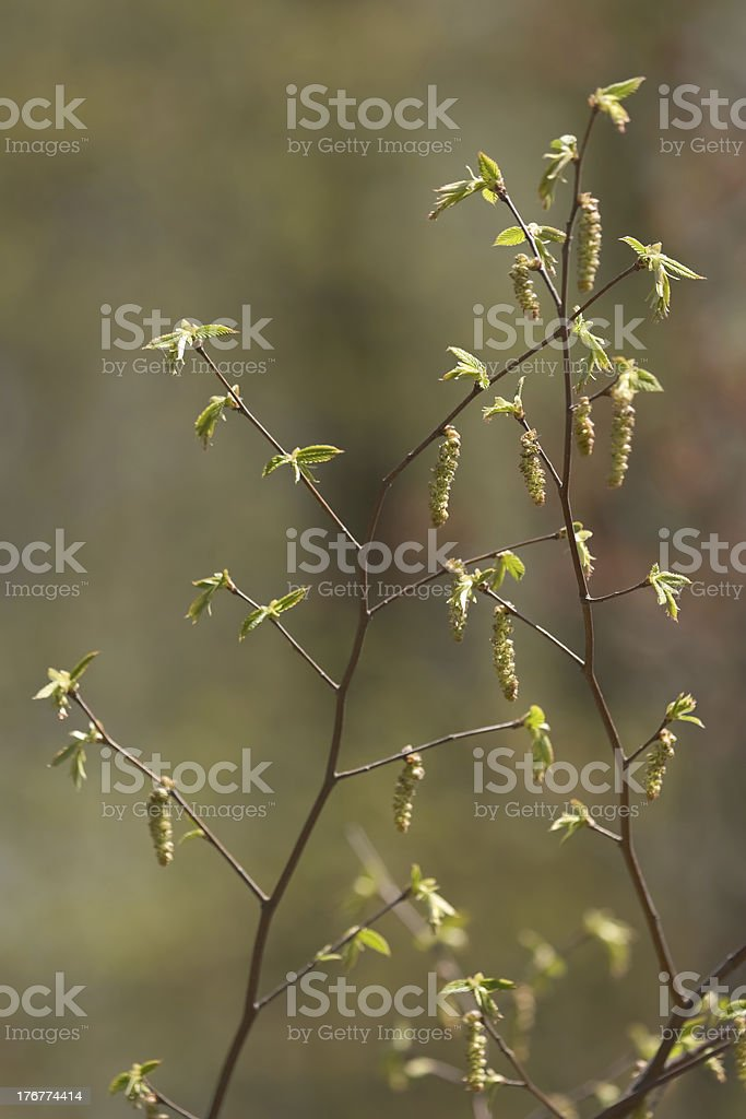 Flowering elm branches in spring royalty-free stock photo