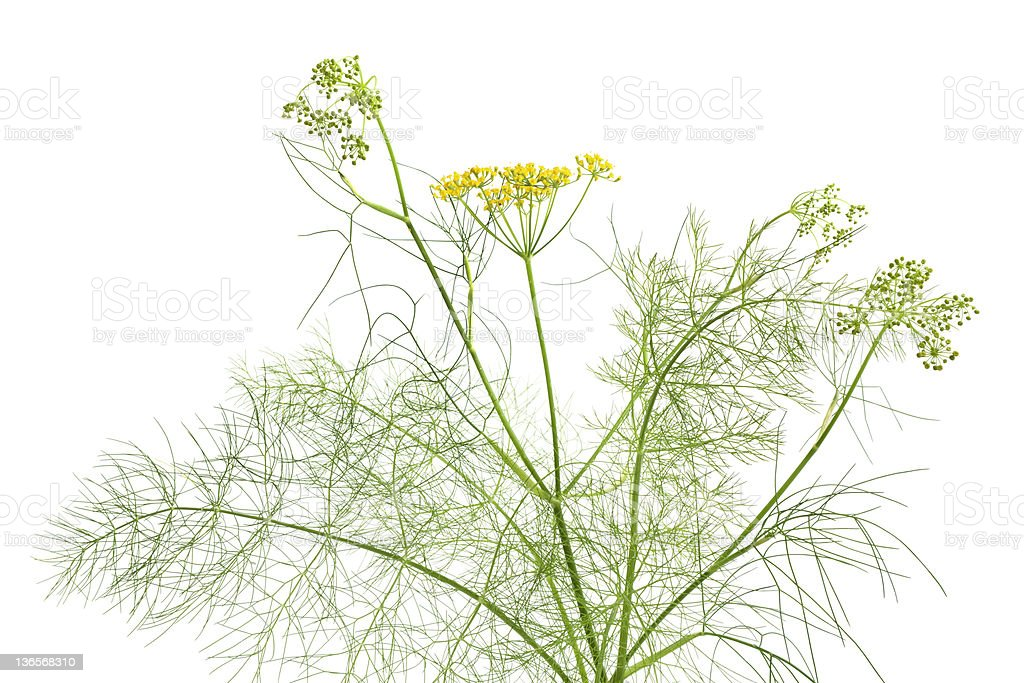 Flowering fennel stock photo