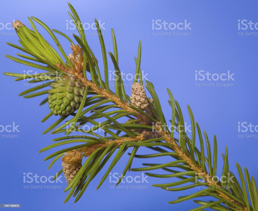 Flowering fir stock photo