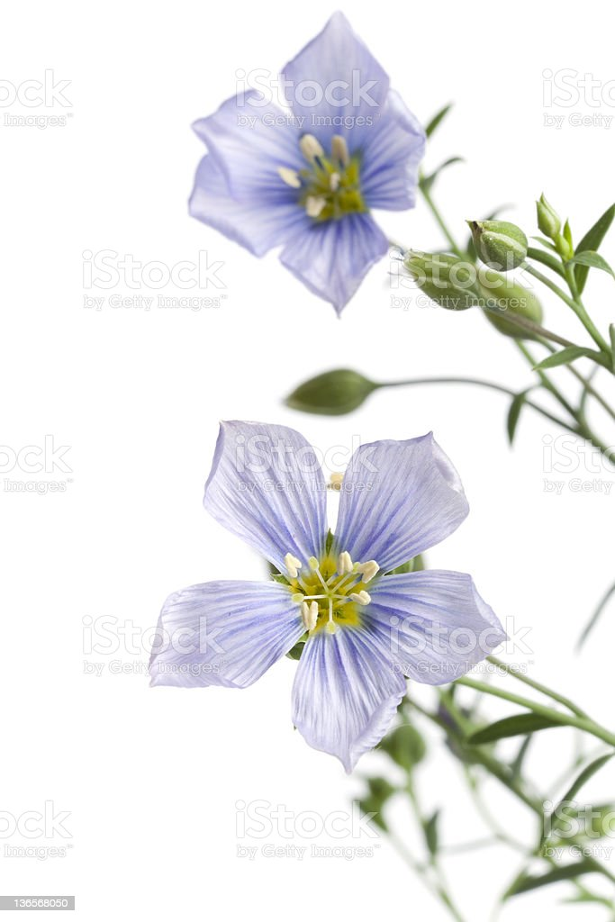 Flowering flax with buds close up royalty-free stock photo