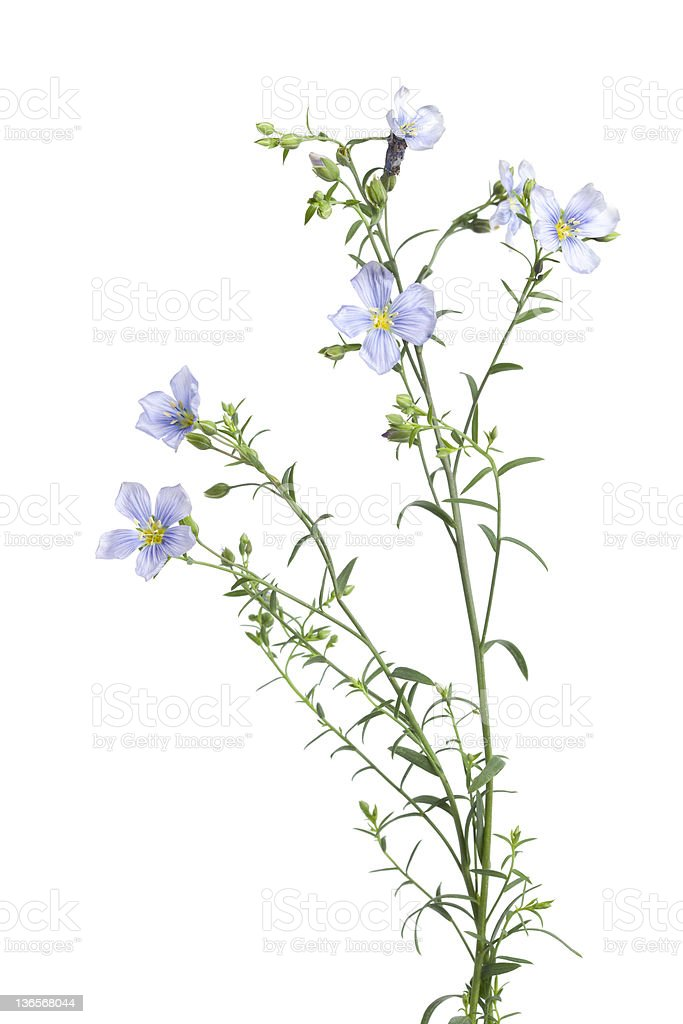 Flowering flax with buds stock photo