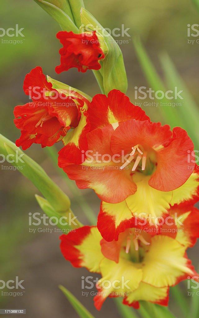 Flowering Gladiolus branch royalty-free stock photo