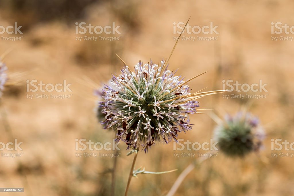 Flowering Globe Thistles with a lot of small red beetles collecting pollen (Echinops adenocaulos) stock photo