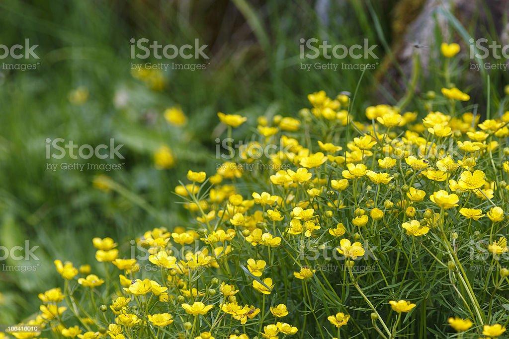 Flowering Goldilocks Buttercup royalty-free stock photo