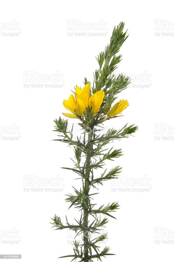 Flowering gorse stock photo