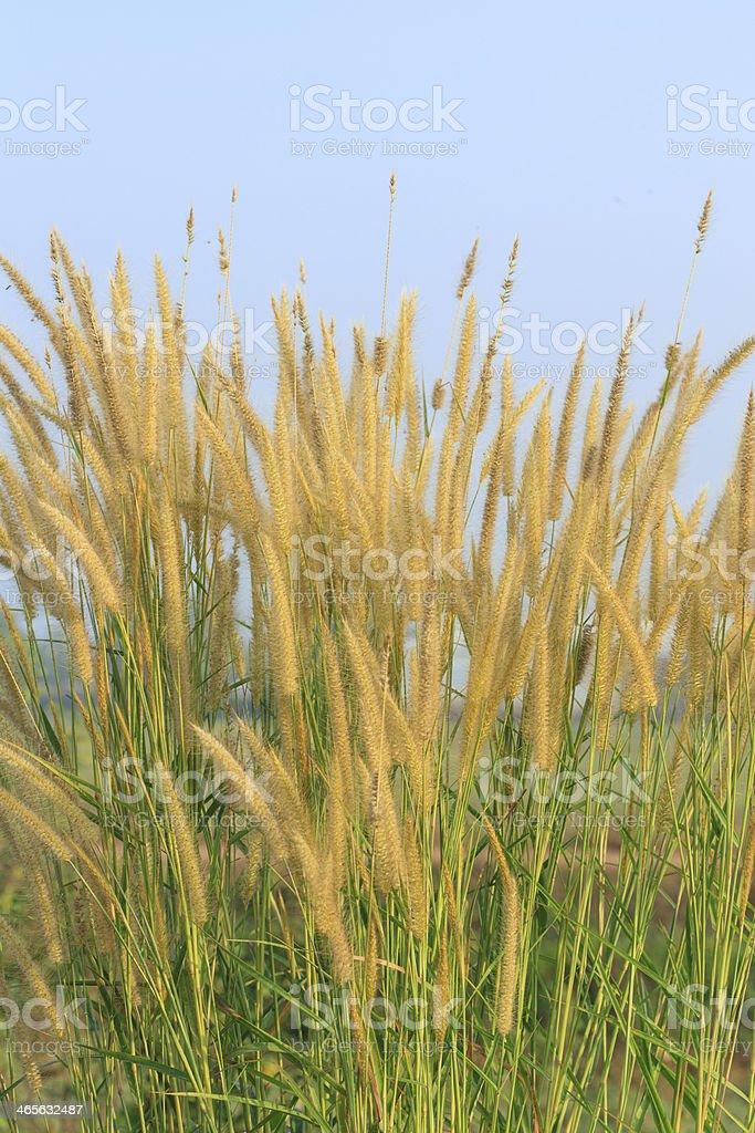 Flowering grass royalty-free stock photo