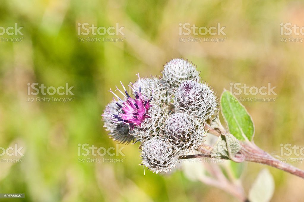 Flowering Great Burdock stock photo