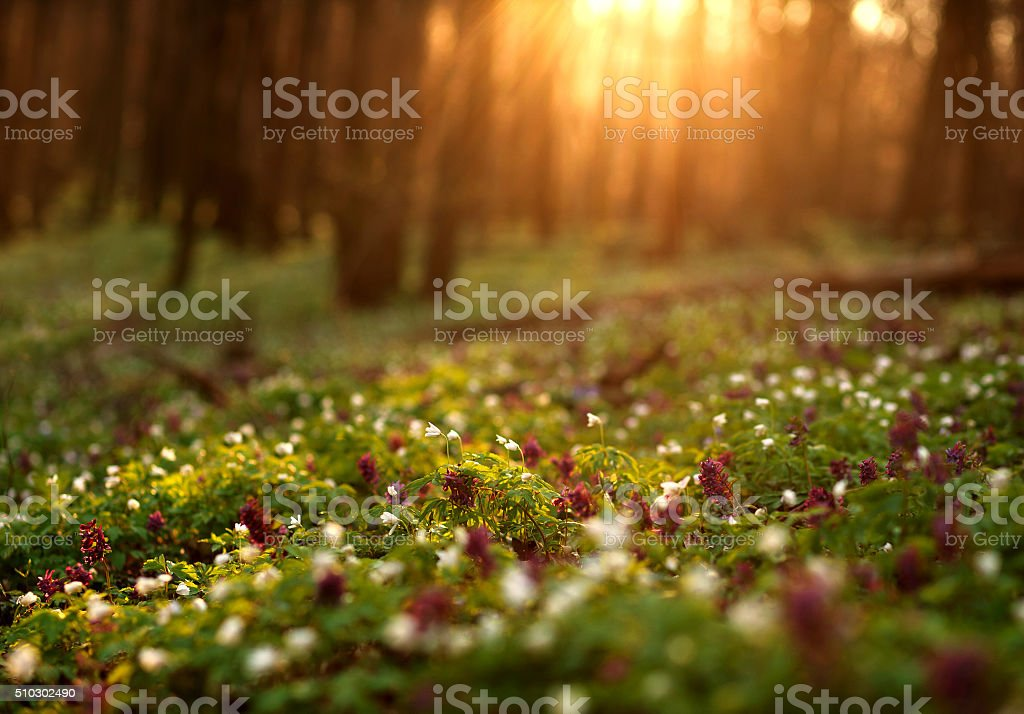 Flowering green forest on sunset , spring nature background stock photo