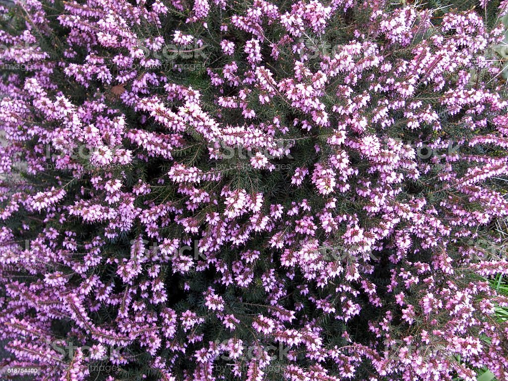 Flowering heather close up stock photo