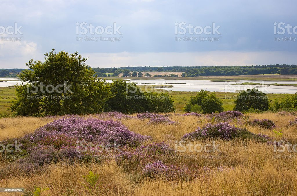 Flowering heather on RSPB Snape Warren, Suffolk, UK stock photo